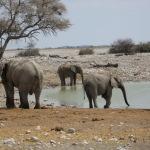 Jungendliche Elefanten trinken