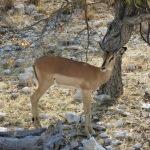 Schwarznasen Antilope