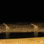 Giraffen in der Nacht