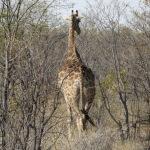 Giraffenarsch