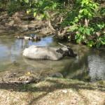 Büffel beim kühlenden Bad