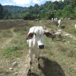 Kühe im Sablayan Prision